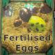 Fridge-Fertilised Eggs