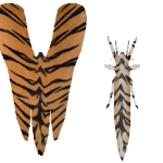 Lymantria Tiger