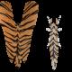 Lymantria Tiger
